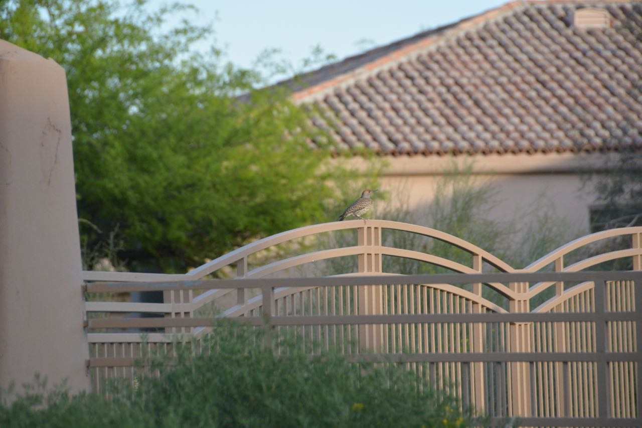 Quail in Scottsdale AZ