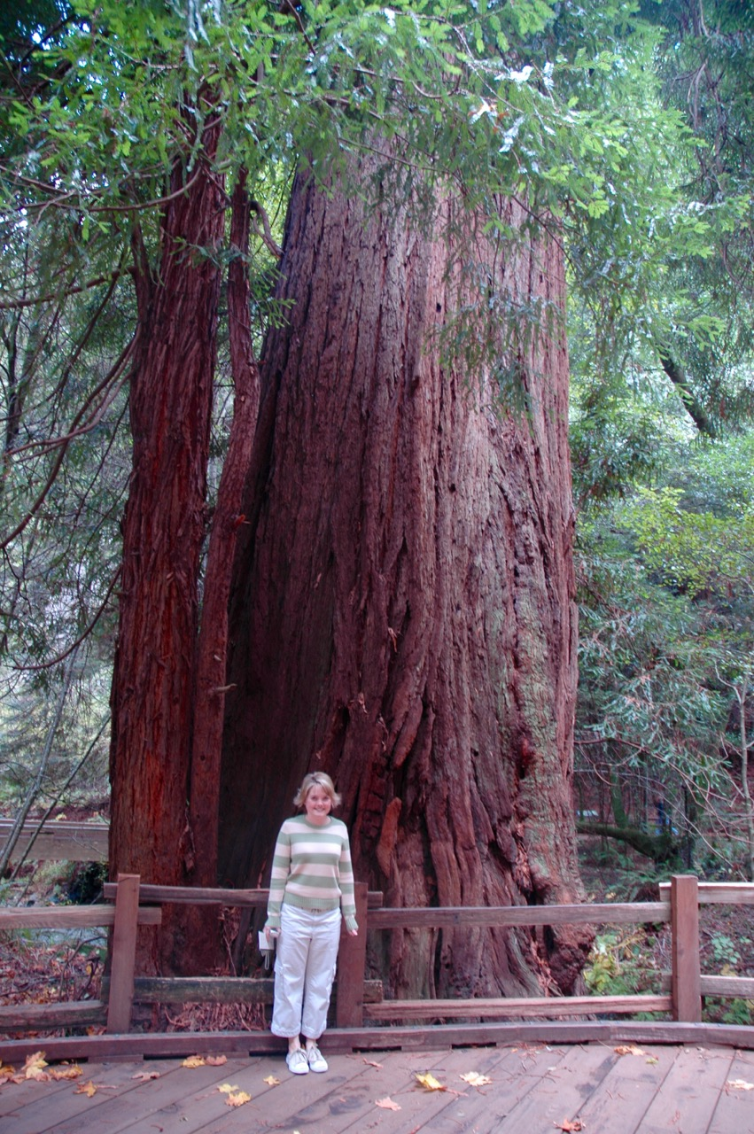 Giant Redwood Tree Muir Woods Mill Valley CA