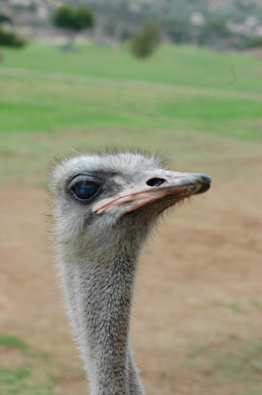 San Diego Wild Animal Park Ostrich
